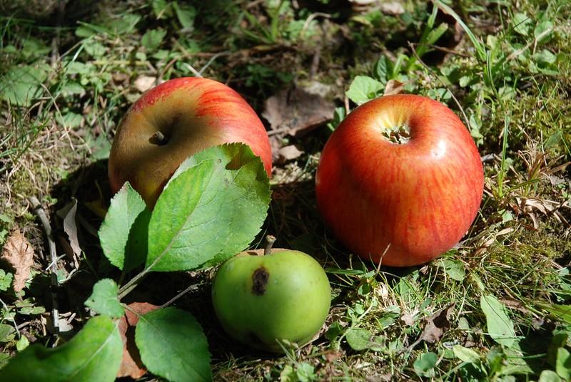 Pommes et bidoyon